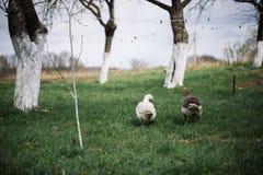 Bianco selvaggio e oche selvatiche nel villaggio Oca domestica del cortile Fotografia Stock Libera da Diritti