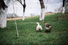 Bianco selvaggio e oche selvatiche nel villaggio Oca domestica del cortile Fotografie Stock