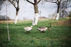 Bianco selvaggio e oche selvatiche nel villaggio Oca domestica del cortile Fotografia Stock