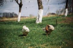 Bianco selvaggio e oche selvatiche nel villaggio Oca domestica del cortile Fotografie Stock Libere da Diritti