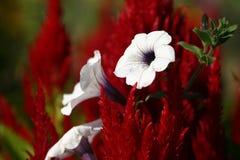 Bianco su colore rosso fotografia stock