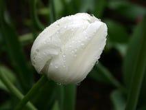 Bianco su verde. Tulipano nella pioggia immagini stock