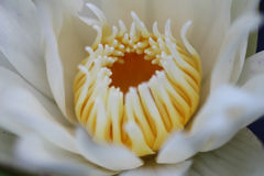 Bianco tailandese waterlily Fotografie Stock