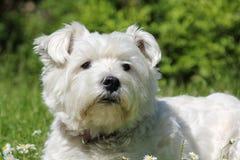 Bianco Terrier di West Highland Fotografia Stock Libera da Diritti