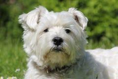 Bianco Terrier di West Highland Fotografia Stock
