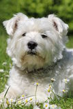 Bianco Terrier di West Highland Immagini Stock