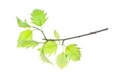 bianco verde Immagini Stock Libere da Diritti