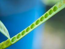 Bianco verde Popinac del seme I giovani baccelli sono mangiati in insalata di verdure e piccante della papaia in Tailandia fotografie stock