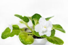 Bianco viola del fiore Fiori della viola Immagine Stock