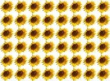 Bianco vivo soleggiato del girasole del fiore del modello Immagini Stock Libere da Diritti
