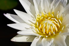 Bianco waterlily Fotografia Stock Libera da Diritti