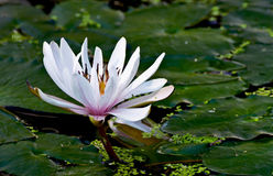 Bianco waterlily Immagini Stock Libere da Diritti