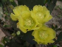 Biarbete i en gul kaktusblomma royaltyfria foton