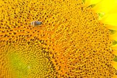Biarbete på solrosen Royaltyfria Bilder