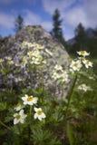 Biarmia Anemone Στοκ Εικόνες