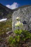 Biarmia Anemone Στοκ φωτογραφίες με δικαίωμα ελεύθερης χρήσης