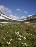 Biarmia Anemone Στοκ Εικόνα