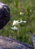 Biarmia Anemone Στοκ Φωτογραφίες