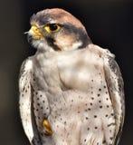 Biarmicus di Falco del lanario immagini stock