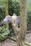 Biarmicus latin de Falco de nom de faucon de Lanner Images libres de droits