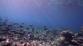 Biautiful corals with underwater sunlight and Black surgeonfish Acanthurus gahhm in Red sea Sudan. Beautiful corals with underwater sunlight and Black stock footage