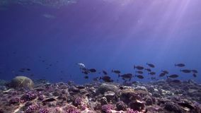 Biautiful corals with underwater sunlight and Black surgeonfish Acanthurus gahhm in Red sea Sudan. Shaab Rumi stock video