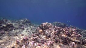 Biautiful corals with underwater sunlight and Giant moray Red sea Sudan. Shaab Rumi stock video