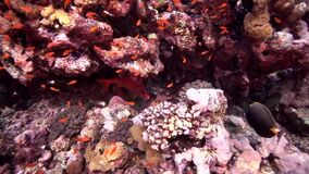 Biautiful corals with underwater sunlight and Longjawed squirrelfish Sargocentron spiniferum Red sea Sudan. Shaab Rumi stock footage
