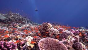 Biautiful corals with underwater sunlight and parrot fish Red sea Sudan. Shaab Rumi stock video footage