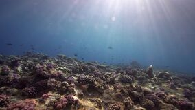Biautiful corals with underwater sunlight and parrot fish Red sea Sudan. Shaab Rumi stock video