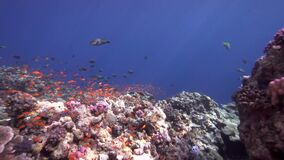 Biautiful corals with underwater sunlight and school of Orangespine unicornfish Naso lituratus, pfrrot fish, travally in Red sea. Sudan Shaab Rumi stock video