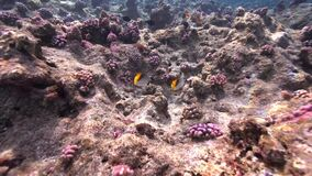 Biautiful corals with underwater sunlight and Threadfin butterflyfish  Chaetodon auriga Red sea Sudan. Shaab Rumi stock footage