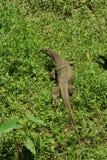 biawak sp varanus Fotografia Royalty Free