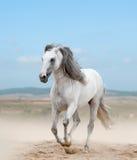 Biały andalusian ogier Zdjęcie Stock