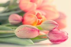 biały czerwoni tło tulipany Obrazy Stock