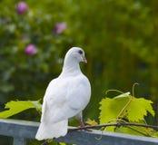 Biały gołąb Obrazy Stock