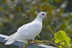 Biały gołąb Obrazy Royalty Free