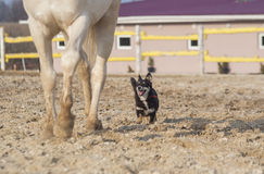 Biały koń i szczęśliwy czarny pies w padoku Zdjęcie Stock
