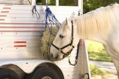 biały koń jedzenia Fotografia Royalty Free