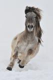 biały końscy cwał bieg Zdjęcie Royalty Free