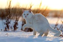 Biały kot na śniegu Obrazy Stock