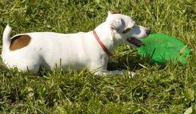 Biały labradora pies Zdjęcia Royalty Free