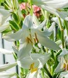 Biały Lilium kwiat (członkowie z czego są prawdziwe leluje) Obraz Stock