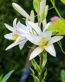 Biały Lilium kwiat (członkowie z czego są prawdziwe leluje) Fotografia Royalty Free