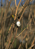 Biały ślimaczka obsiadanie na trawie Obraz Royalty Free