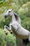Biały Orlov koń Zdjęcie Stock