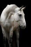 Biały Orlov kłusak Zdjęcia Stock