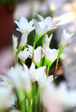 Biały pająk lilly Obraz Stock