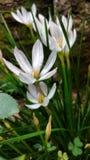 Biały piękno Zdjęcie Royalty Free