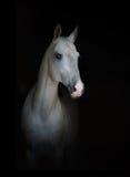 Biały purebred koń na czerni Obrazy Royalty Free